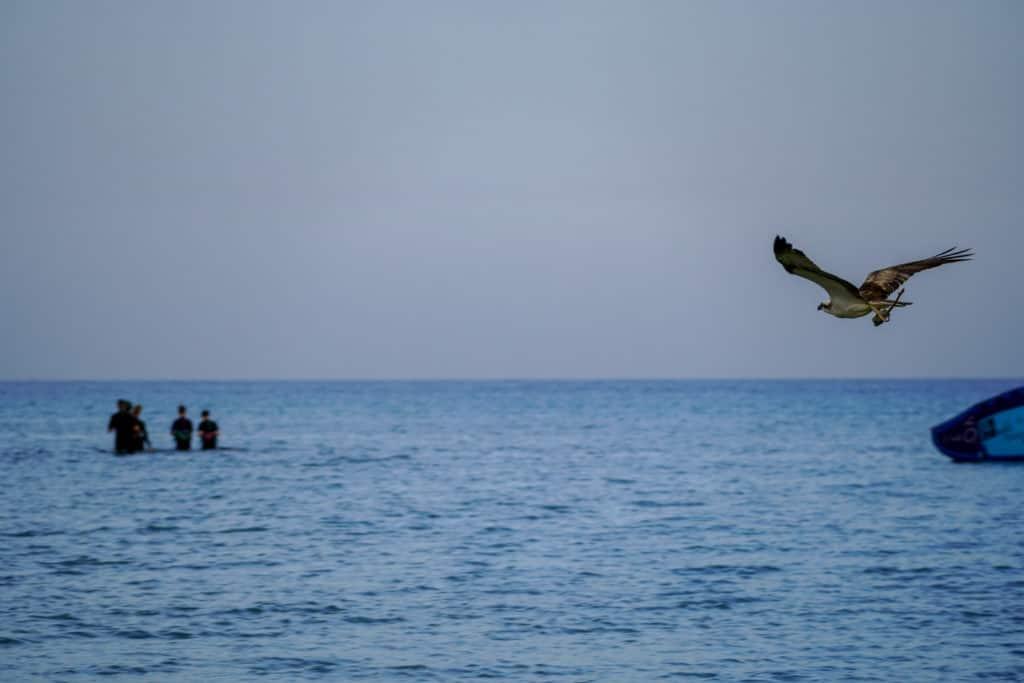 fischadler-im-anflug